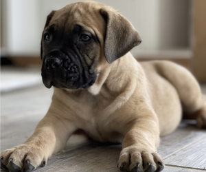 Boerboel Puppy for sale in OMAHA, NE, USA