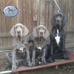 Black blue GreatDane pups German Championline