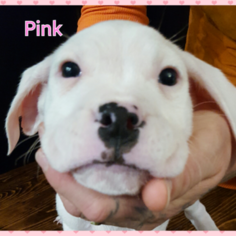 Dogo Argentino Puppy For Sale in PLACERVILLE, CA