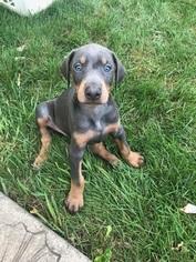 Doberman Pinscher Puppy for sale in CLINTON TOWNSHIP, MI, USA