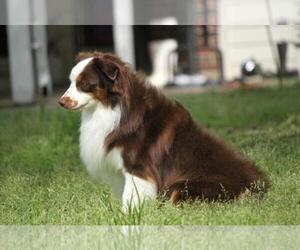 Father of the Miniature Australian Shepherd puppies born on 10/04/2020