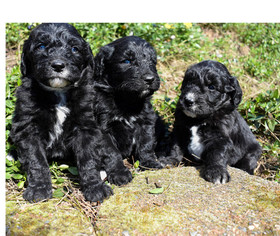 Aussiedoodle Puppy For Sale in BATTLE GROUND, WA, USA