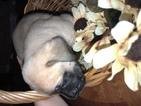 Mastiff Puppy For Sale in LAS VEGAS, Nevada,