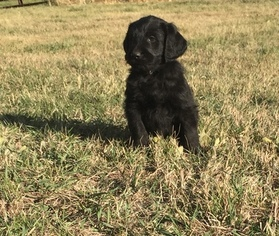 Labradoodle Puppy For Sale in GOLDEN, CO, USA