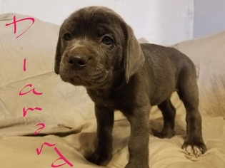 View Ad Cane Corso Puppy For Sale Near Missouri Imperial Usa Adn