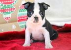 Boston Terrier Puppy For Sale in MOUNT JOY, PA, USA