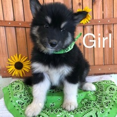 Alaskan Malamute Puppy For Sale in VALENTINE, NE, USA