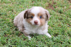 Miniature Australian Shepherd Puppy For Sale in GOODWELL, OK, USA