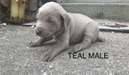 Weimaraner Puppy For Sale in FALMOUTH, Michigan,