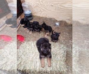 German Shepherd Dog Puppy for Sale in WHITE RIV JCT, Vermont USA