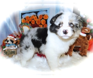 Australian Shepherd Puppy for Sale in HAMMOND, Indiana USA