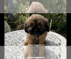 Shih Tzu-Unknown Mix Puppy for sale in PORT WASHINGTON, NY, USA