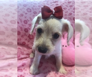 Miniature Schnauzzie-Poodle (Toy) Mix Puppy for Sale in SARASOTA, Florida USA