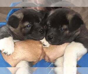 Akita Puppy for sale in MOUNT WASHINGTON, KY, USA