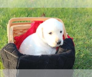 Golden Labrador Puppy for Sale in DENVER, Pennsylvania USA