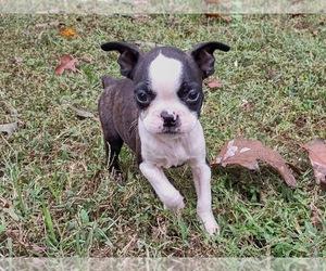 Boston Terrier Puppy for sale in REMINGTON, VA, USA
