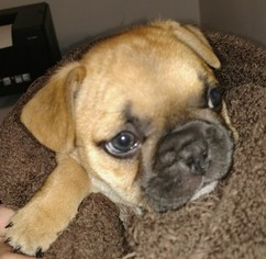 French Bulldog Puppy for sale in KNOXVILLE, TN, USA