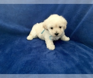 Poodle (Toy) Puppy for sale in SAFFORD, AZ, USA