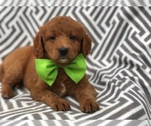 View Ad: Goldendoodle-Poodle (Miniature) Mix Puppy for Sale