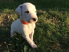 Dalmatian Puppy For Sale in GARBER, OK, USA