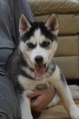 ACA Siberian Husky Puppies