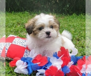 Mal-Shi Puppy for Sale in WINTER HAVEN, Florida USA
