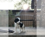 Puppy 3 Poodle (Toy)-Sheepadoodle Mix