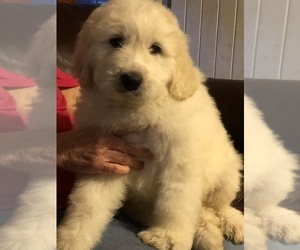 Great Pyrenees-Pyredoodle Mix Puppy for Sale in DOOLIE, North Carolina USA