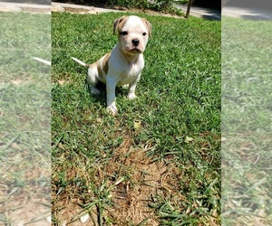American Bulldog Puppy for Sale in COUNTRY CLUB, Missouri USA