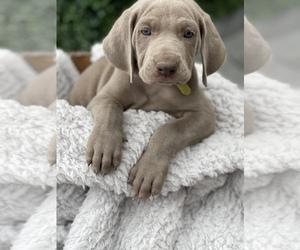 Weimaraner Puppy for sale in BROWNSVILLE, TX, USA