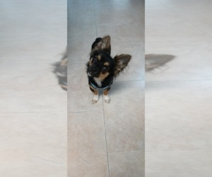 Chorkie Puppy for sale in DUNNELLON, FL, USA