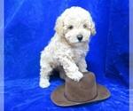 Small #12 Poodle (Miniature)