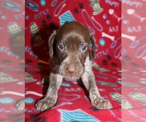 German Shorthaired Pointer Puppy for sale in SUNBURY, PA, USA