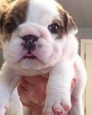 Bulldog Puppy For Sale in BONHAM, TX