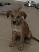 Bullboxer Pit Puppy For Sale in OMAHA, NE, USA