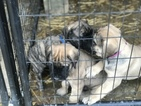 Mastiff Puppy For Sale in NORTH VERNON, IN, USA