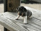 Dachshund Puppy For Sale in HENDERSON, TN, USA