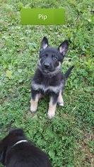 German Shepherd Dog Puppy For Sale in EDEN VALLEY, MN