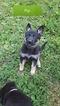 German Shepherd Dog Puppy For Sale in EDEN VALLEY, MN, USA