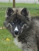 Siberian Husky Puppy For Sale in EAST TAWAS, MI
