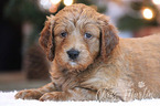 Goldendoodle (Miniature) Puppy For Sale in CLAY, PA, USA