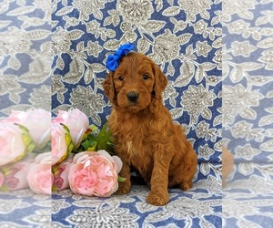 Goldendoodle Puppy for sale in CHRISTIANA, PA, USA