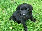 Aussiedor Puppies