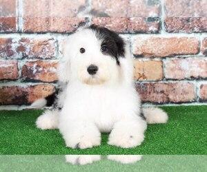 Sheepadoodle Dog for Adoption in BEL AIR, Maryland USA