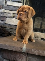 Dogue de Bordeaux Puppy For Sale in MADISONVILLE, TN, USA