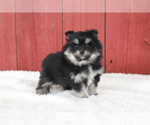 Pomsky Puppy for sale in MEDINA, OH, USA