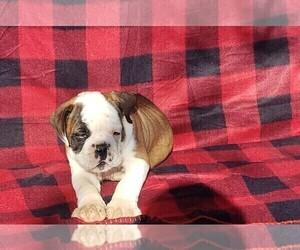 Olde English Bulldogge Puppy for Sale in LAFAYETTE, Louisiana USA