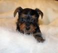 Yorkshire Terrier Puppy For Sale in NICHOLSON, GA, USA