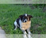 Puppy 3 Australian Cattle Dog-Border Collie Mix