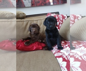 Labrador Retriever Puppy for sale in DENVER, CO, USA